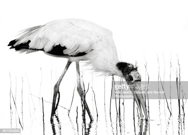 Dramatic Black and White Wood Stork and Reeds