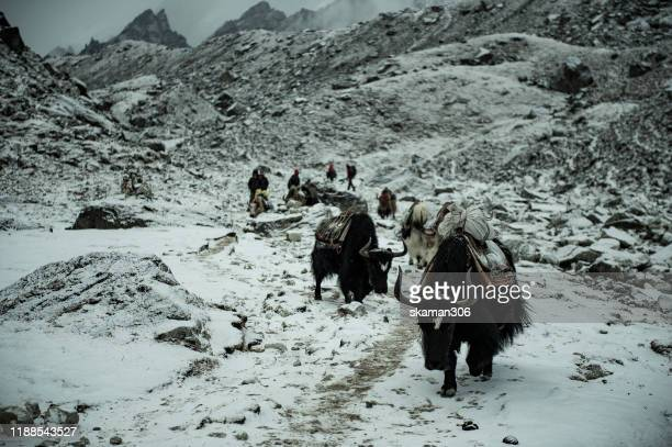dramatic cloud and caravan of yak  on the ways to everest basecamp  near solokhumbu region nepal - yak stock pictures, royalty-free photos & images