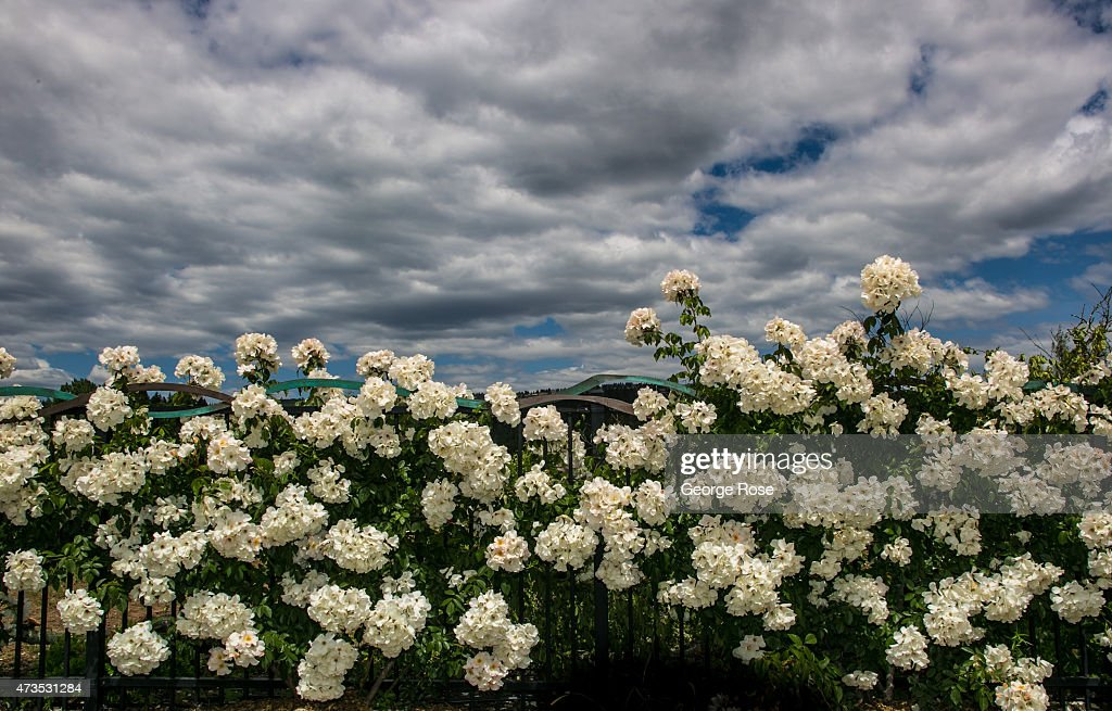 Dramatic clouds are the backdrop to a fence filled with white roses on May 7, 2015, in Oakville, California. Despite a drought that is in its fourth year, California's North Coast vineyards seem to be unaffected and are expected to yield another bumper harvest of grapes beginning in early August.