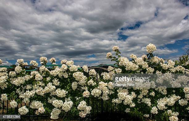 Dramatic clouds are the backdrop to a fence filled with white roses on May 7 in Oakville California Despite a drought that is in its fourth year...