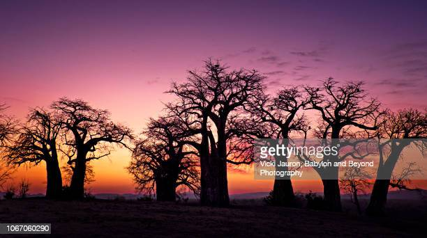 dramatic colors and baobab trees at sunrise at chitaka springs, mana pools, zimbabwe - zimbabwe fotografías e imágenes de stock