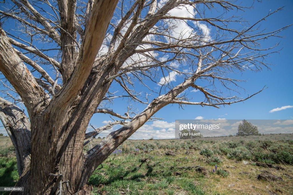 Dramatic dead snag in the desert : Stock Photo