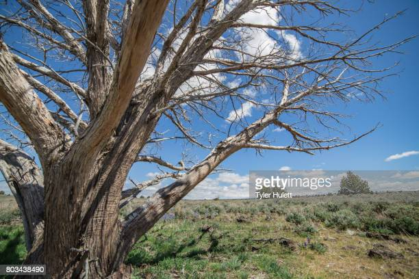 dramatic dead snag in the desert - western juniper tree stock pictures, royalty-free photos & images