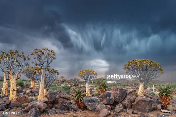 dramatischer donner gewitter im stillen baumwald, südnamibia - köcherbaum stock-fotos und bilder