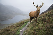 Dramatic landscape image of red deer stag aboe lake in mountainous landscape in Autumn