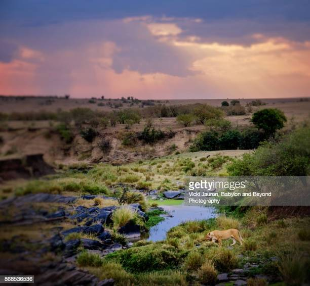 dramatic landscape scene with lion in foreground in masai mara - hairy bush stock pictures, royalty-free photos & images