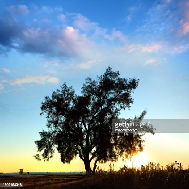 dramatic landscape with large single tree during sunset - siesta key stock pictures, royalty-free photos & images