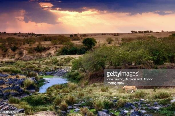 dramatic landscape with lioness in masai mara, kenya - hairy bush stock pictures, royalty-free photos & images