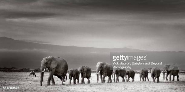 Dramatic Line of Elephants in Black and White in Amboseli, Kenya