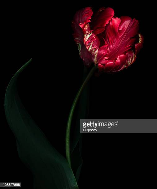 Dramatic red parrot tulip isolated on black background