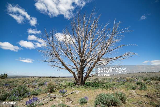 dramatic single dead snag in the desert - western juniper tree stock pictures, royalty-free photos & images