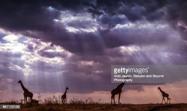 Dramatic Sky with Four Giraffes