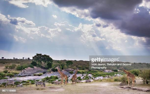 Dramatic Sky with Giraffes and Zebra in Masai Mara, Kenya