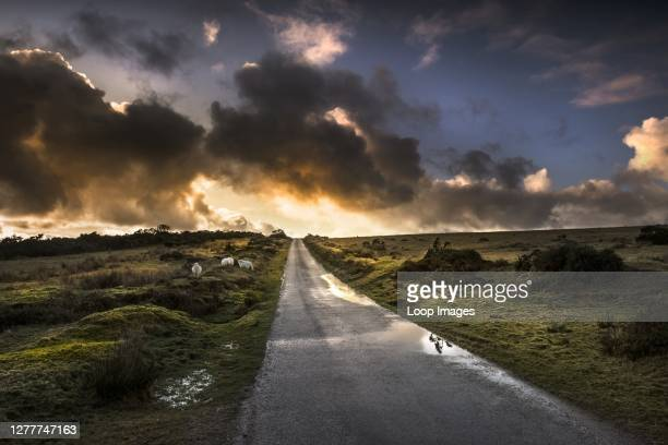 Dramatic sunset as sheep graze on Bodmin Moor in Cornwall.