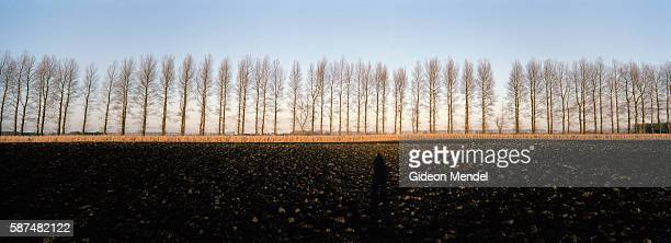 A dramatic winter view of a stark line of trees towering above the black soil of farmland on the Fens near Ely in Cambridgeshire The Fens are a...