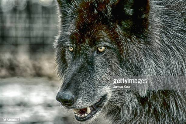 dramatic wolf - black wolf stock pictures, royalty-free photos & images