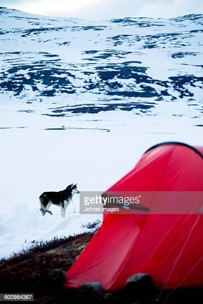 draught dog, tent on foreground - シベリアンハスキー ストックフォトと画像