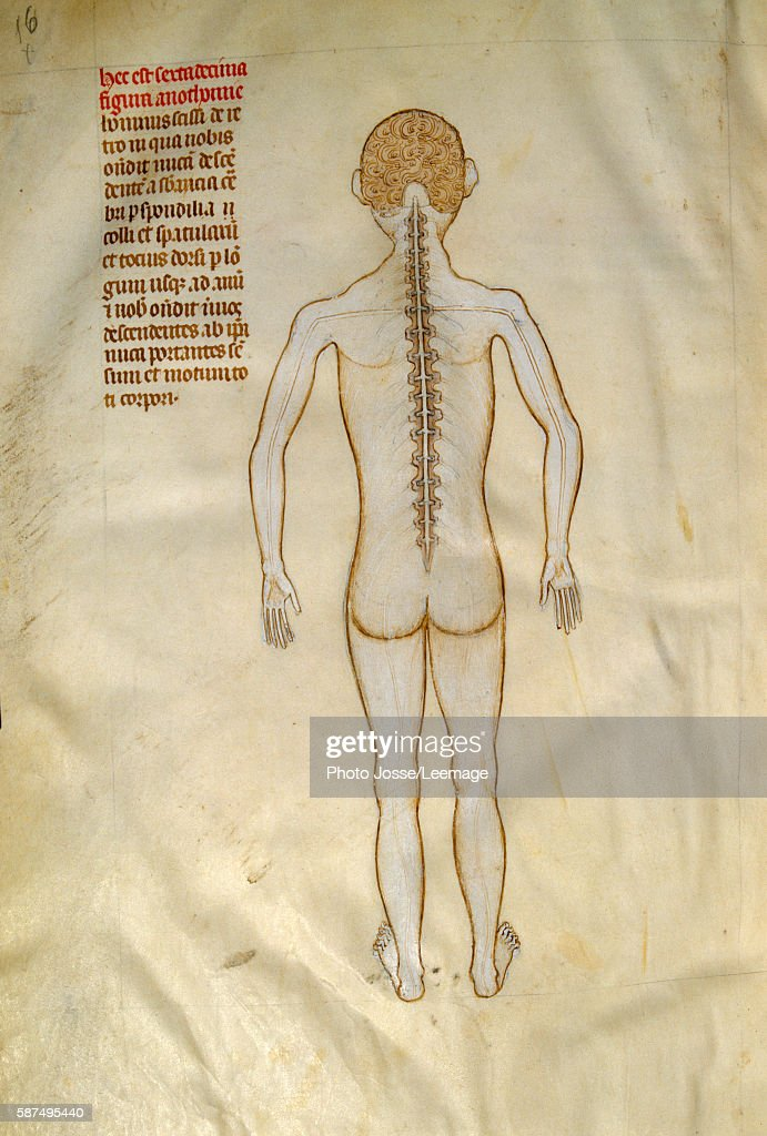 Anatomy: spinal cord - 14th cent. Manuscript Pictures | Getty Images