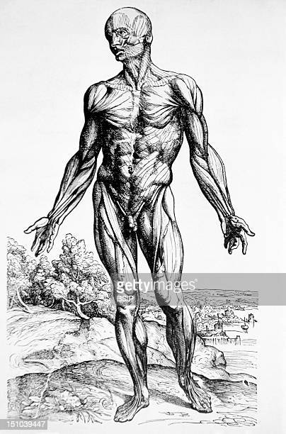 Drawing By The Flemish Anatomist Andreus Vesalius Taken From His Anatomy Textbook De Humani Corporis Fabrica 1543