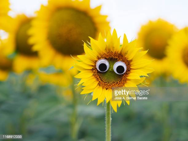 drawing of a face and smiling eyes on a sunflower flower. - googly eyes stock pictures, royalty-free photos & images
