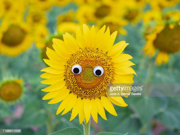 drawing of a face and smiling eyes on a sunflower flower. - animation stock pictures, royalty-free photos & images