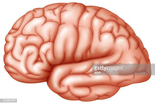 Drawing Of The External Surface Of The Brain
