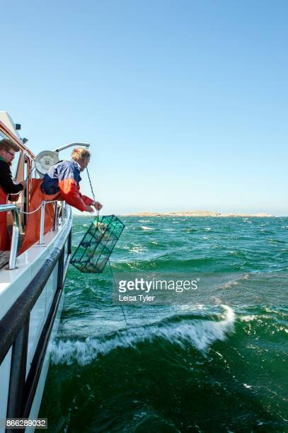 Drawing up langoustine nets off the Weather Islands in the Bohuslän archipelago West Sweden Langoustine are also known as Dublin Bay Prawns and...