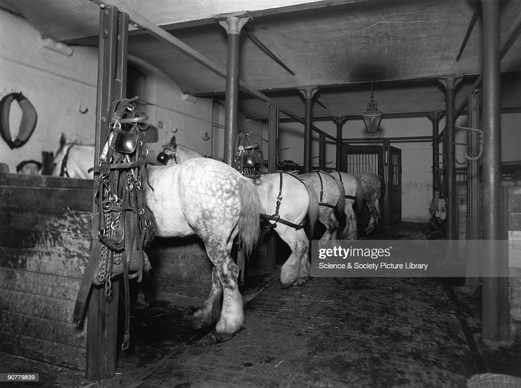 Dray horses in the Mint Stables at Paddingt : News Photo