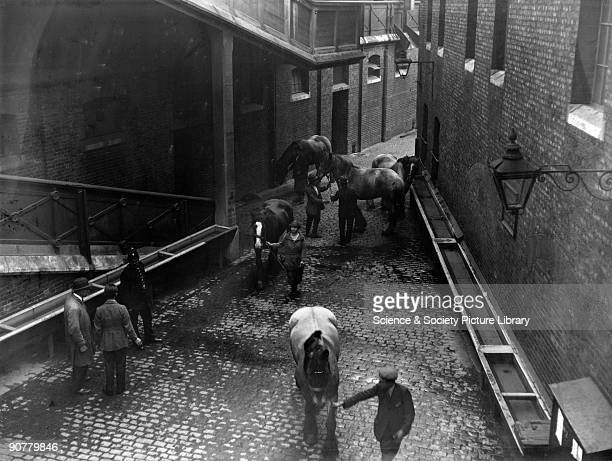 Dray horses in the Mint Stables at Paddington station, London, May 1926. Official Great Western Railway photograph.