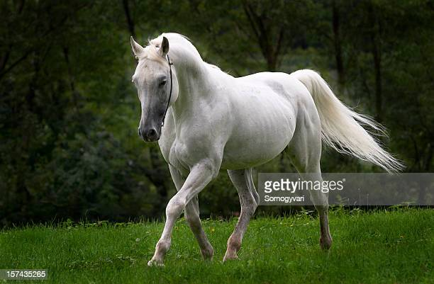 White Horse Stock Pictures Royalty Free Photos Images Getty