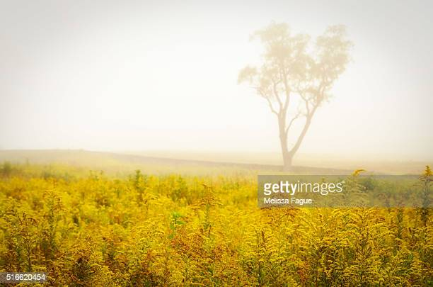 Dreams of Golenrod and Fog: Dreamy Scenic View of Flower Field and Fog