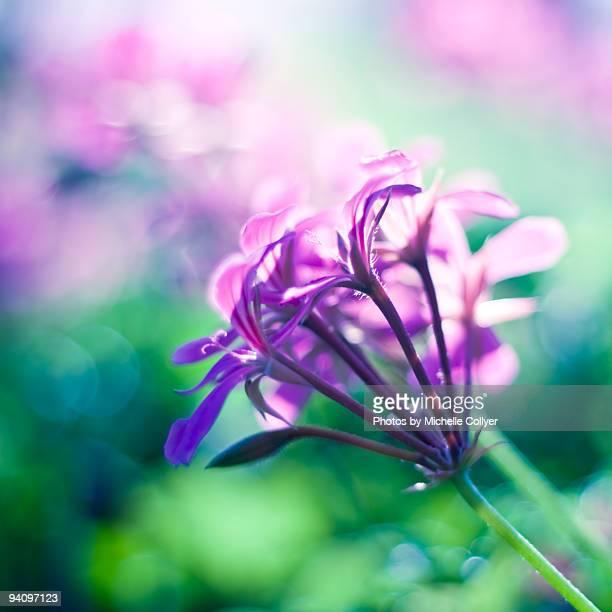 Dreamy Pink Geraniums
