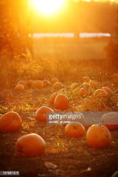 dreamy pumpkin patch sunset - pumpkin patch stock photos and pictures