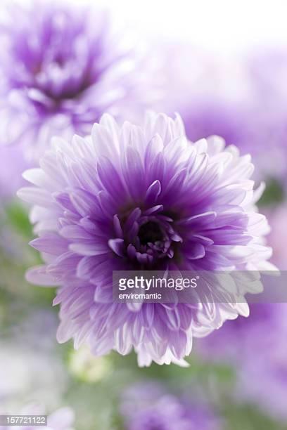 Dreamy purple Aster.