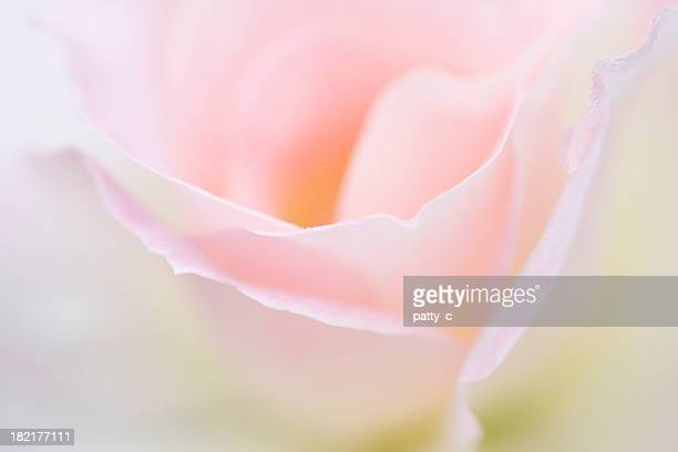 dreamy rose - soft focus stock pictures, royalty-free photos & images