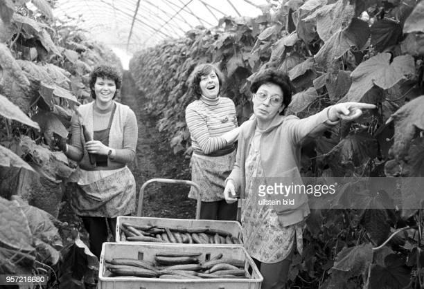 Drei Frauen bei der Ernte von grünen Gurken in einem der Gewächshäuser des VEG Vockerode aufgenommen im März 1986 Mit 64 Hektar war Vockerode eine...