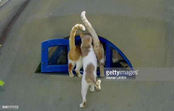Drei Hauskatzen sehen in ein Fenster hinein
