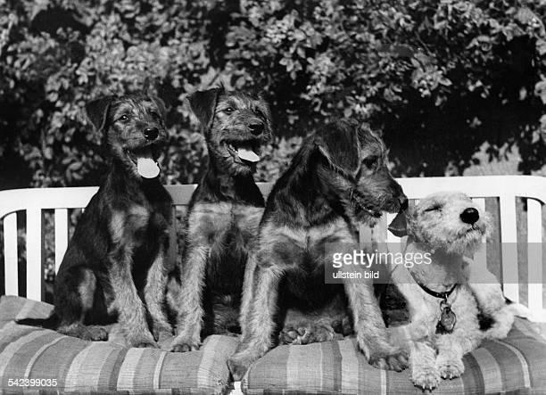 Drei junge Airedale und ein DrahthaarTerrier auf einer Gartenbankerschienen Dame 19/1939 Aufnahme Charlotte Rohrbach
