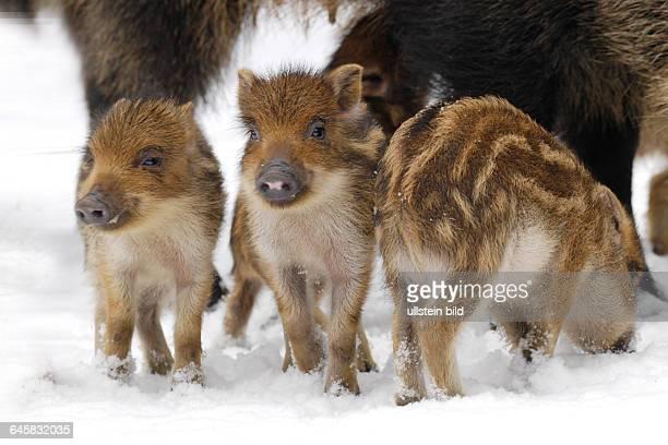 Drei junge Wildschweine im Winter Frischlinge Sus scrofa