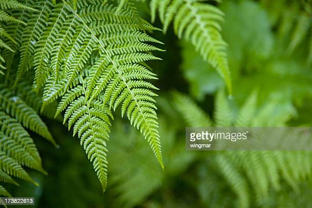 drenched fern