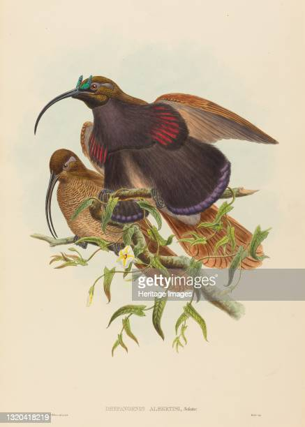 Drepanornis albertisi . Artist John Gould, William Matthew Hart.