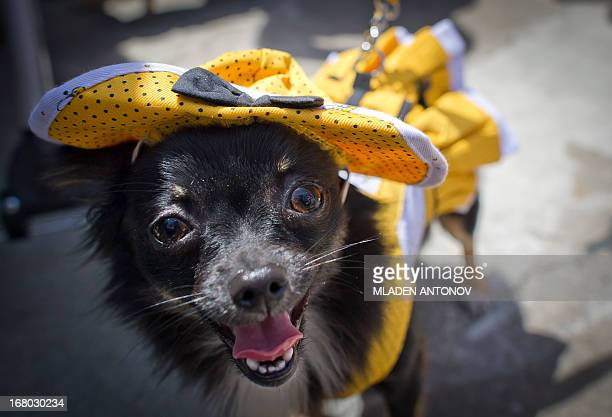 A dressed up Chihuahua dog poses during the 'Run of the Chihuahuas' annual race in Washington on May 4 2013 The annual Chihuahua race marks the...