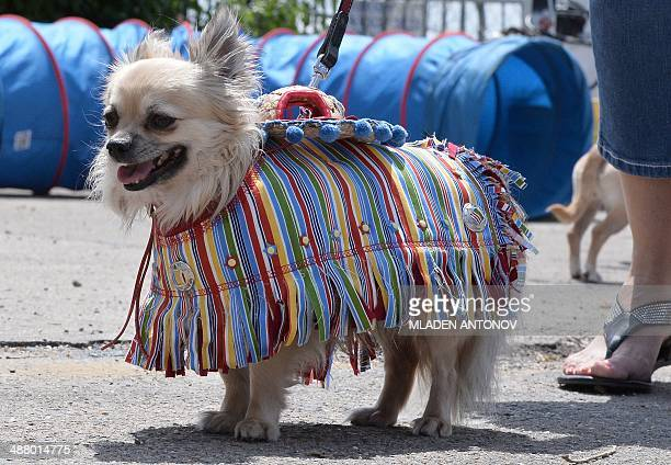 A dressed up Chihuahua dog poses during the 'Run of the Chihuahuas' annual race in Washington on May 3 2014 The annual Chihuahua race marks the...