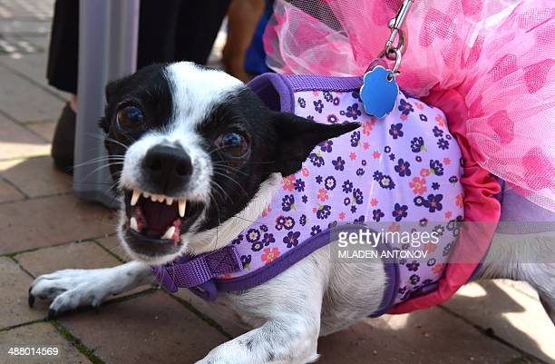 A dressed up Chihuahua dog reacts during the 'Run of the Chihuahuas' annual race in Washington on May 3 2014 The annual Chihuahua race marks the...