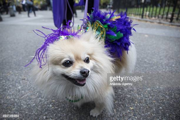 A dressed up dog participates Halloween Dog Parade at Tompkins Square in Manhattan New York on October 25 2015