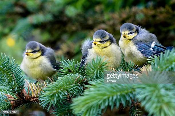 Drie jonge pimpelmezen in spar, Belgie Three Blue tit fledglings in tree, Belgium.