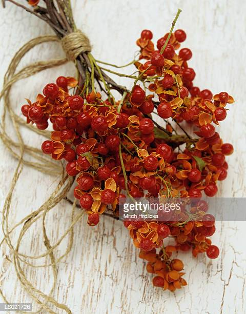 dried bittersweet berries - bittersweet berry stock photos and pictures