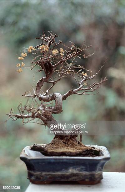 dried bonsai tree on table - bonsai tree stock pictures, royalty-free photos & images