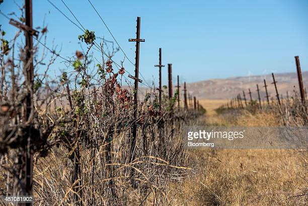 Dried chardonnay grape vines stand at the Clifton Court Vineyard in Byron California US on Thursday July 16 2015 A recordsetting drought has squeezed...