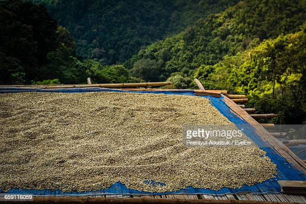 Dried Coffee Beans On Roof